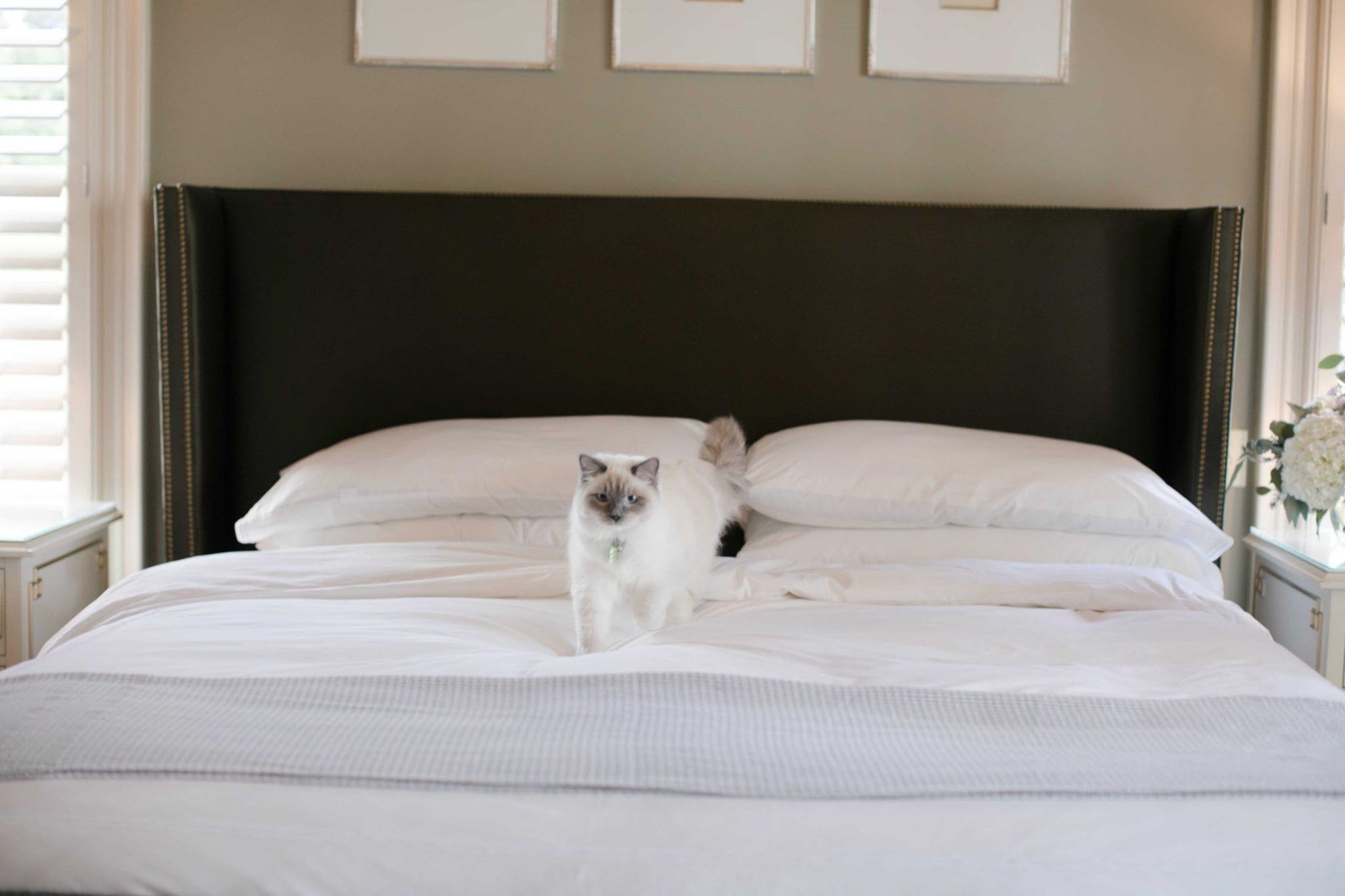 kitten walking on luxury hotels sheets with white bedding and gray throw blanket