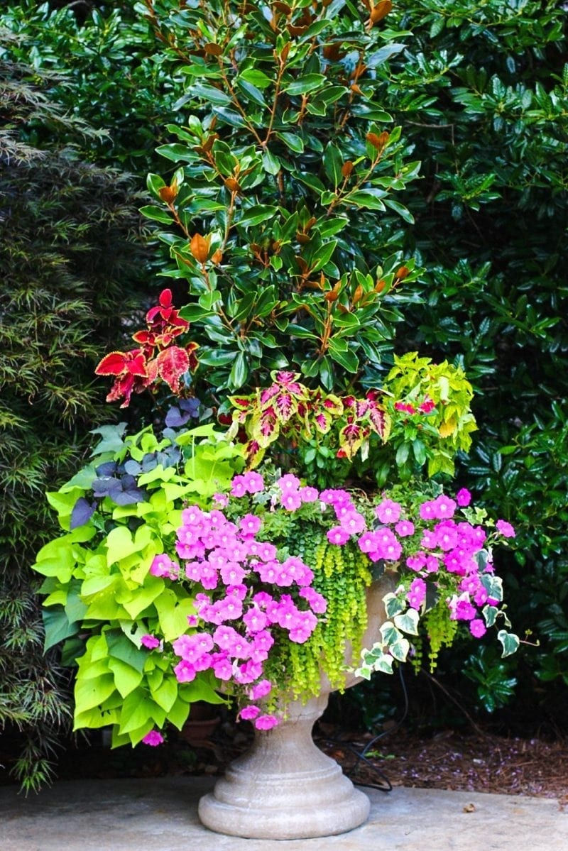 Top tips for wave petunias and petunia trailing bluegraygal - Wave petunias in containers ...