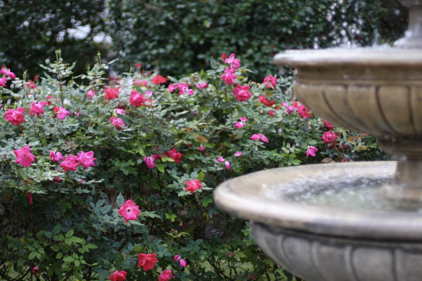 Knockout Roses around water fountain.