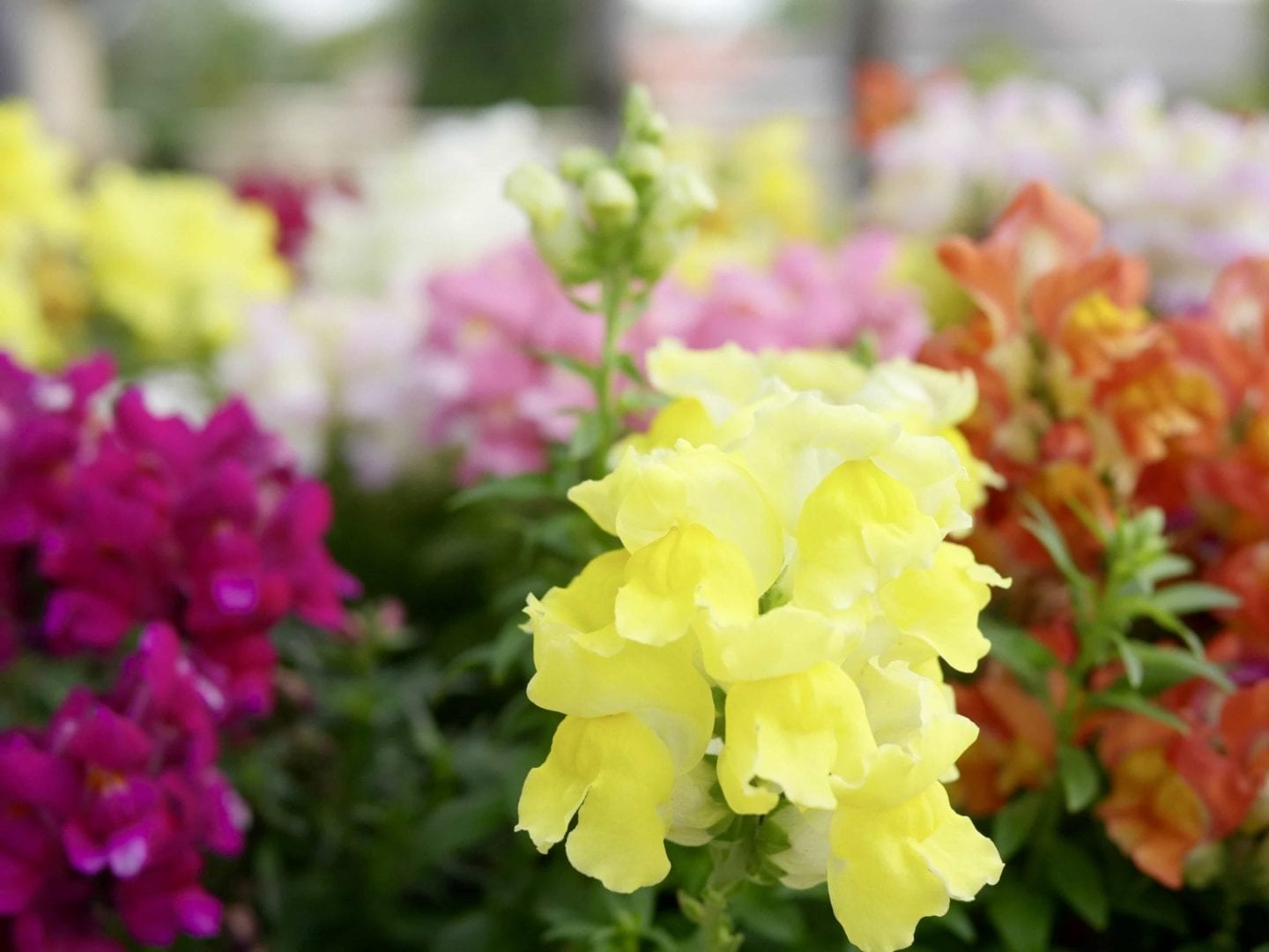 What colors do Snapdragons come in?